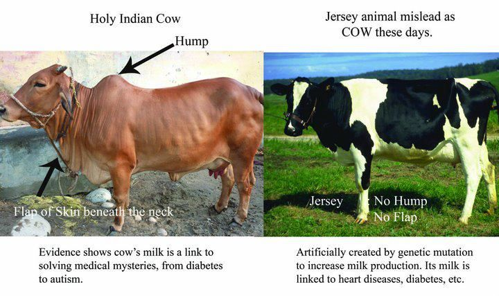 difference milk   between desi cow breeds vs foreign