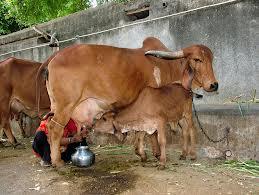 cow_milk_cancer_killer