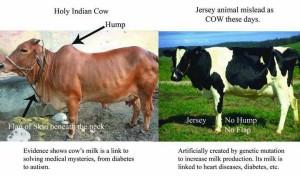 Gau Mata Vs Jersey Animal