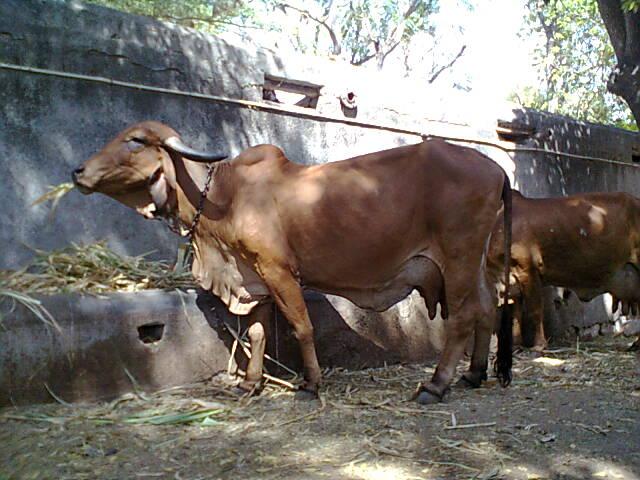 Gir Cow Jasdan